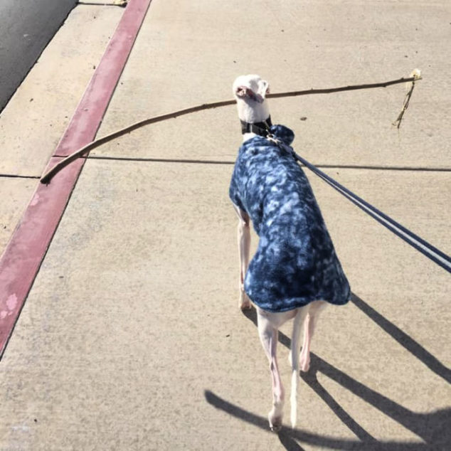Whippet dog carrying a big stick in its mouth.