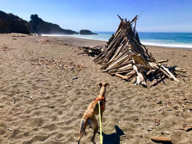 Whippet looking at a driftwood structure on a beach.