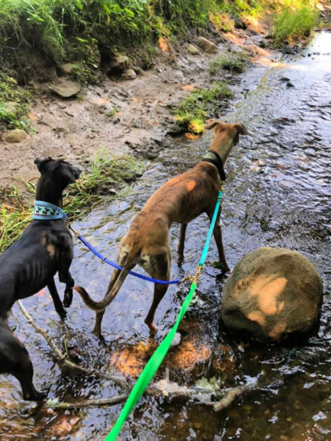 Two whippets walking in a creek.