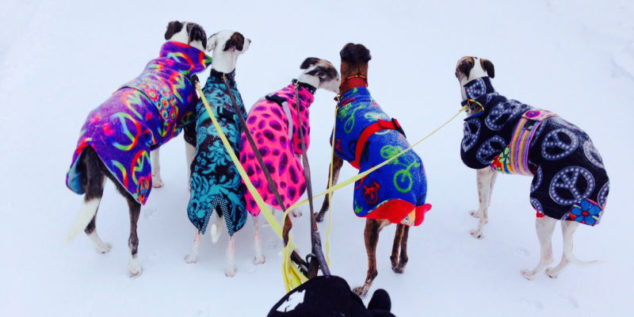Five whippets wearing dog coats and walking in the snow.