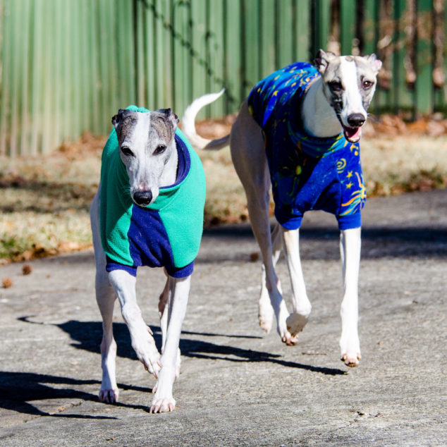 Two whippets wearing fleece dog coats