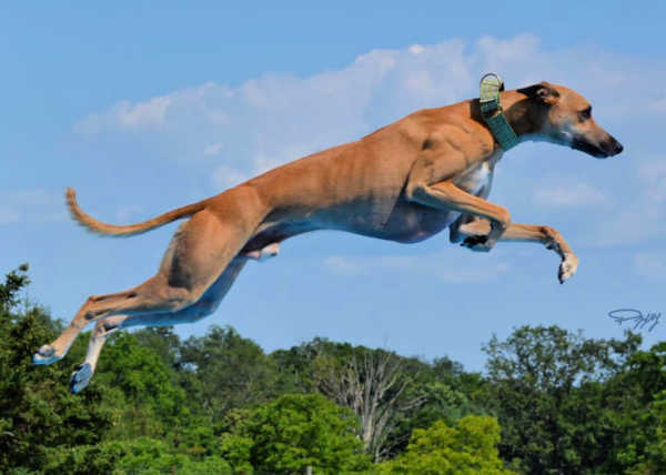 Brown whippet in mid-jump.