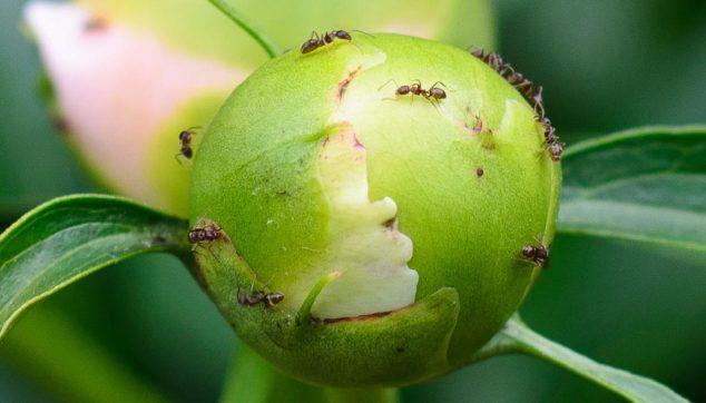 Ants on a peony bud
