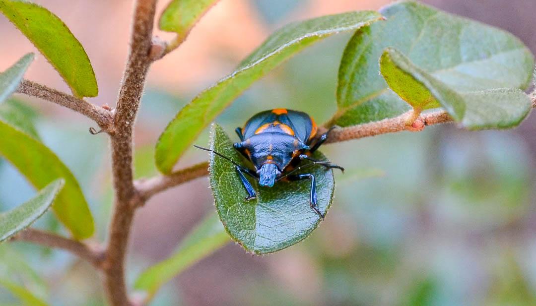 Black beetle with orange spots