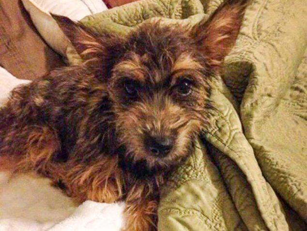 Cairnoodle dog on a bed.