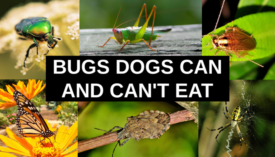 Can dogs eat bugs collage of various bugs