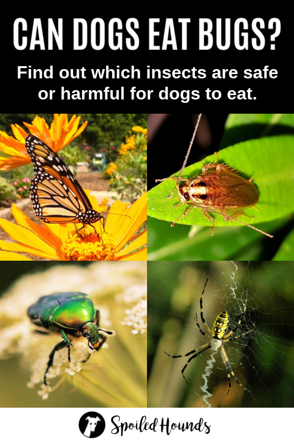 Can dogs eat bugs collage of insects
