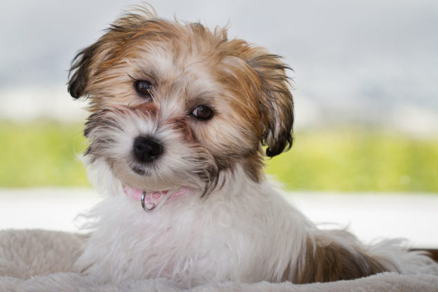 Cavachon puppy sitting on a dog bed.