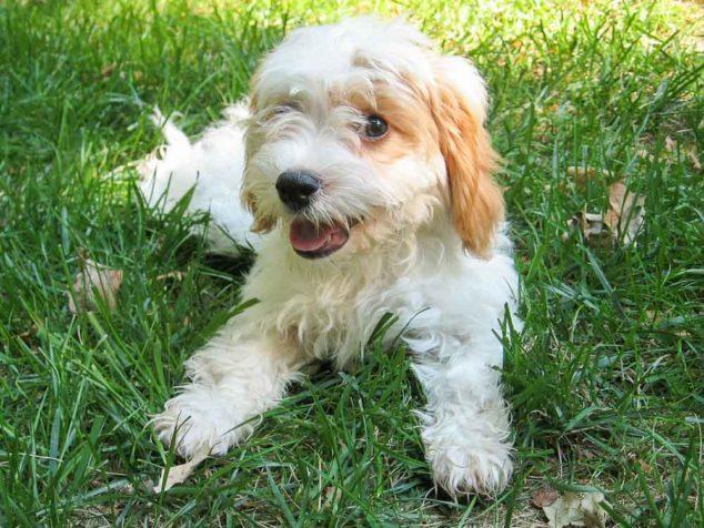 Cavapoo dog lying on grass