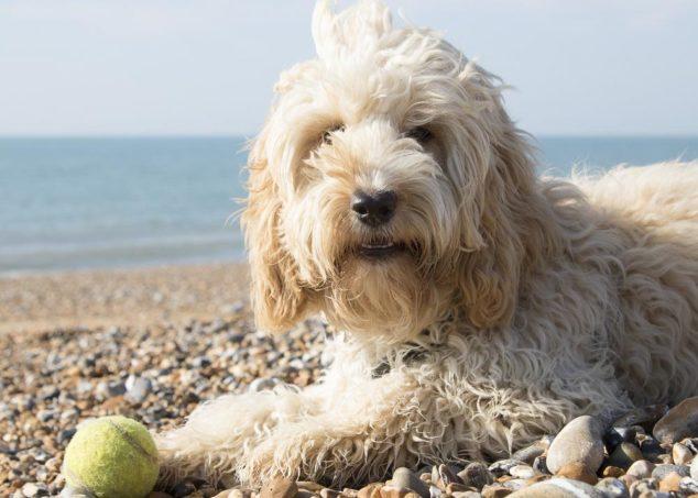 Cockapoo dog sitting on a beach.