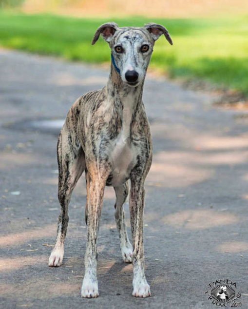 Brindle whippet standing on a road