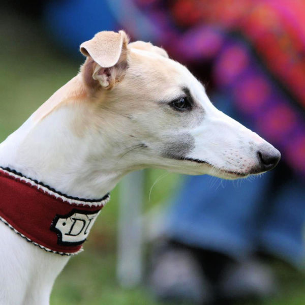 Fawn whippet wearing a red martingale collar