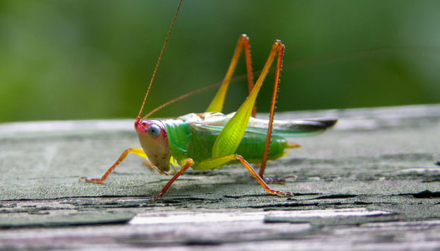 Green grasshopper with red head and legs