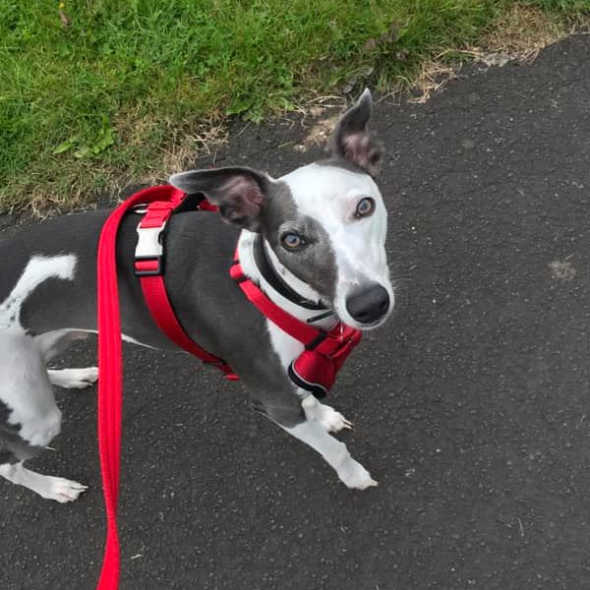Black and white whippet dog wearing a red harness