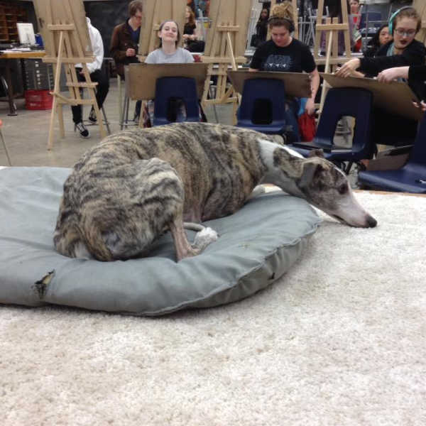Brindle whippet lying on a grey dog bed