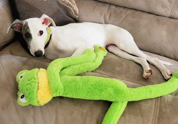 Whippet puppy with a frog dog toy on a couch.