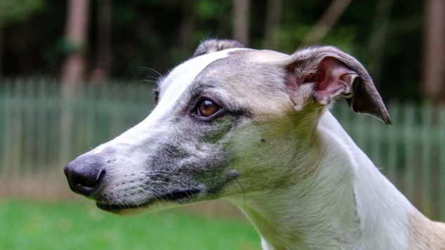 Face of a fawn whippet with a black mask