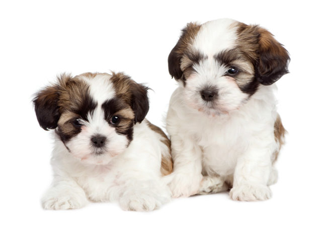 Two Malshi puppies