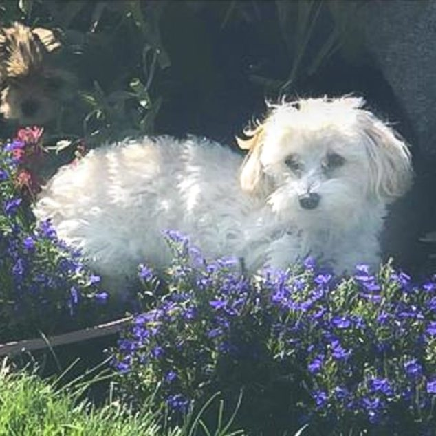 Maltipoo dog sitting in a flower bed.