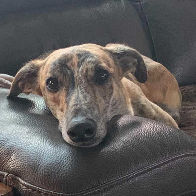 Brown brindle whippet sitting on a brown couch