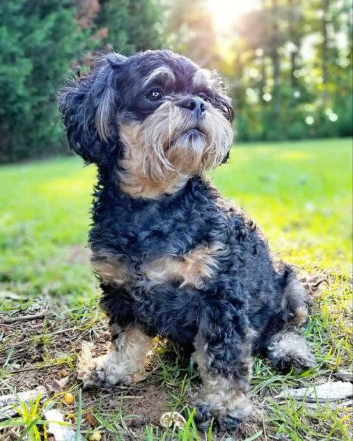 Black Peekapoo dog with tan spots