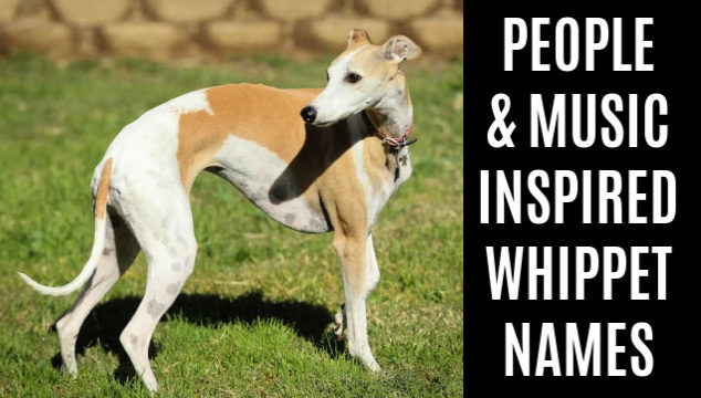 Feature image for people and music inspired whippet names