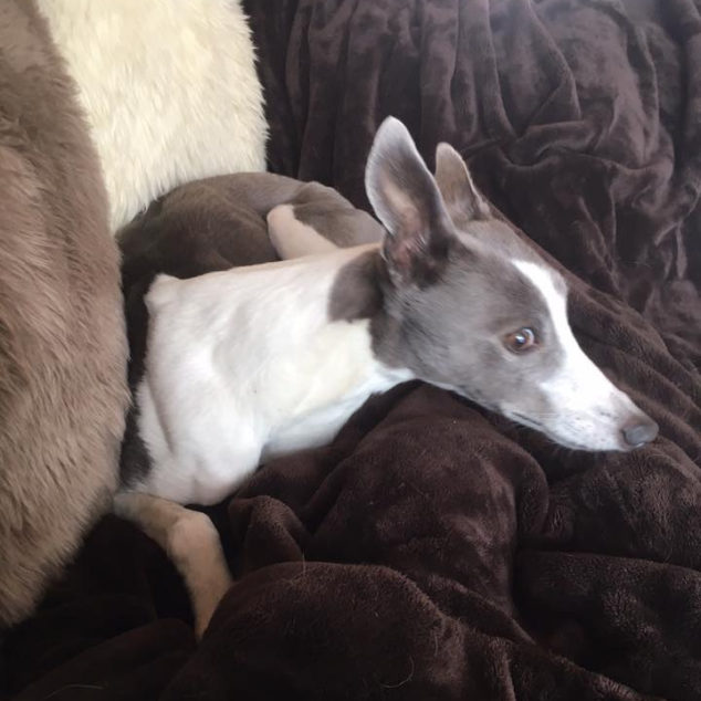 Grey and white whippet on a couch