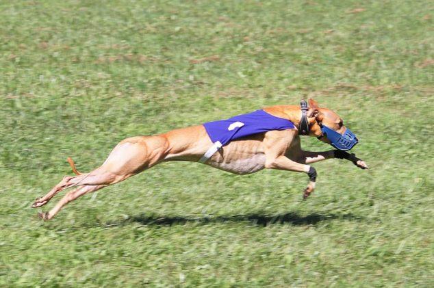 Tan whippet wearing a blue racing jacket running across a field.