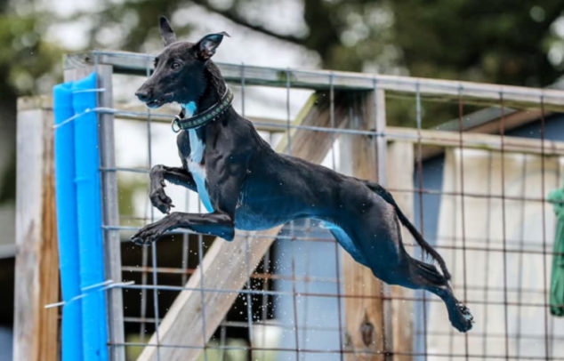 Black whippet jumpinj off a dock