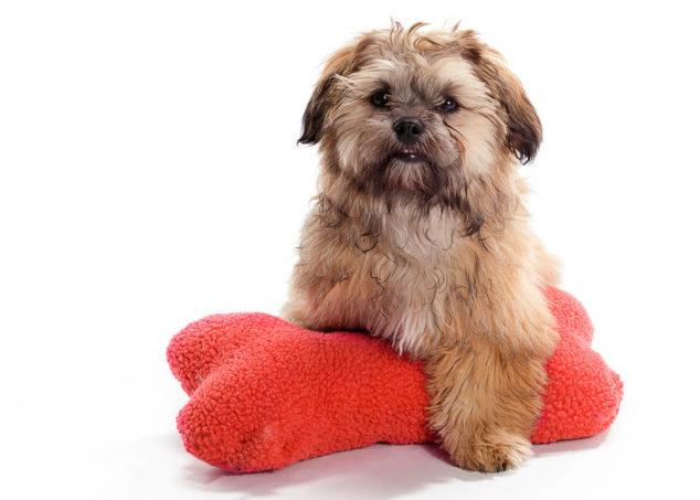 Shih Poo dog sitting on a stuffed dog bone toy.