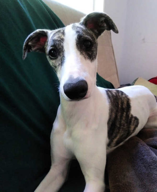 White whippet with brindle spots sitting on a couch