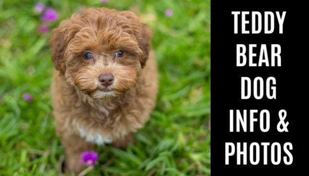 Teddy Bear Dog Breed Info And Photos Spoiled Hounds