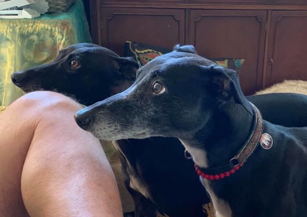 Two black whippets