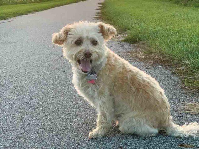 A Westipoo dog sitting on a walking path.