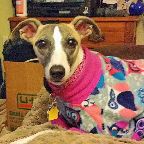 Whippet wearing a colorful fleece dog coat