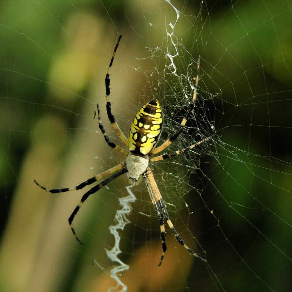 Yellow garden spider on a web