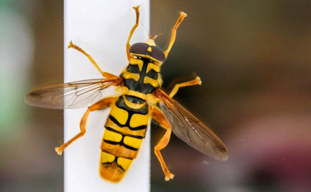 Yellowjacket bee