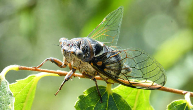 Cicada on a tree branch
