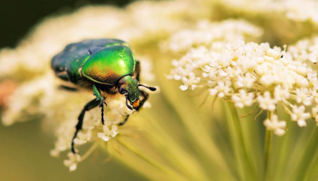 June bug on yarrow flowers