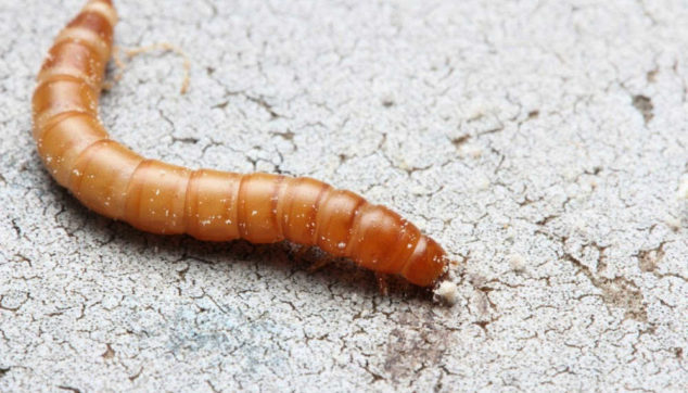 Mealworm on the ground