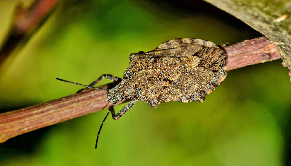 Stink bug on a tree branch