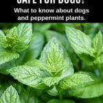 fresh peppermint plant
