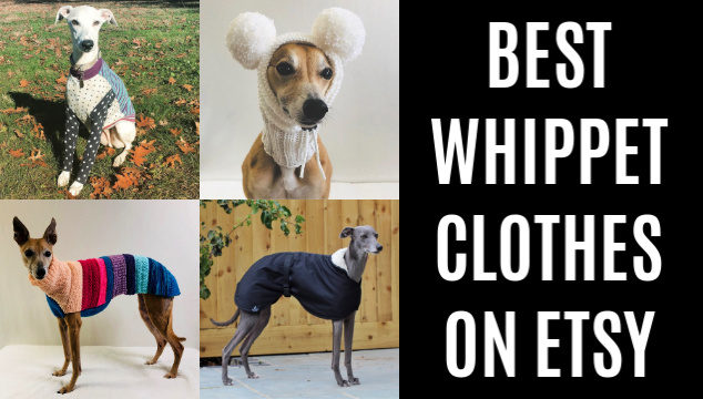 collage of whippets wearing dog clothes