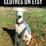 whippet wearing a colorful dog shirt