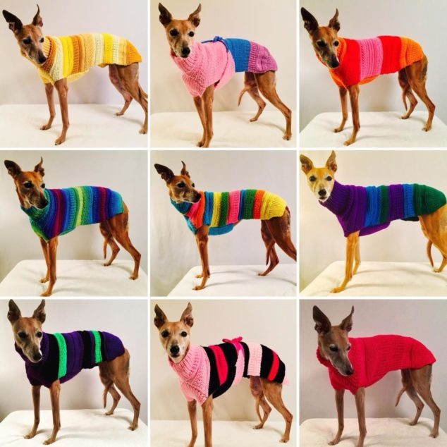 whippets wearing hand knitted dog sweaters