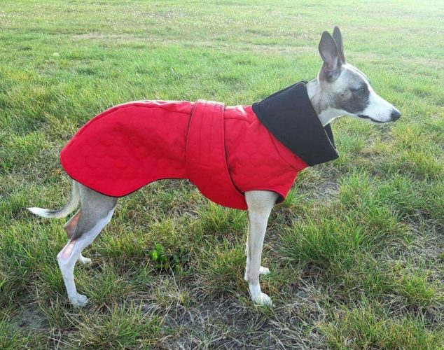 whippet wearing a red winter dog coat