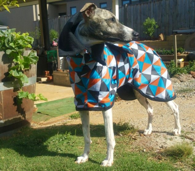 whippet wearing a colorful dog winter coat