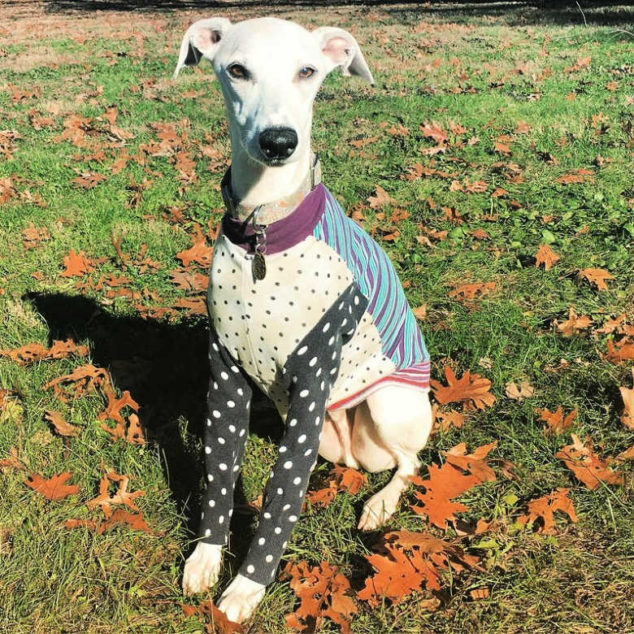 whippet wearing a colorful jersey dog shirt