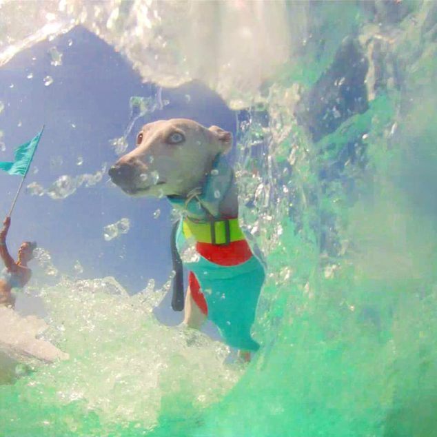Surfing whippet with wave around it