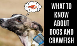 dog thinking about crawfish